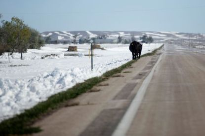 South Dakota cattle