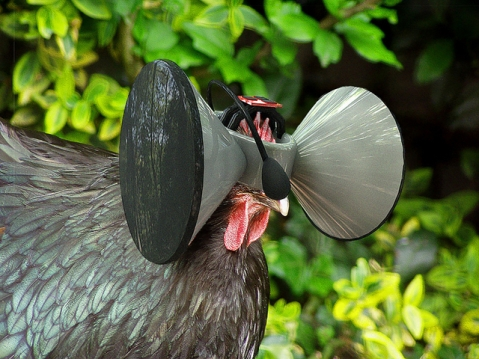 A photoillustration of a chicken wearing a virtual reality headset. Image courtesy of Austin Stewart. - See more at: http://amestrib.com/news/isu-design-professor-envisions-virtual-reality-lives-farm-animals#sthash.5ozmjMMA.dpuf